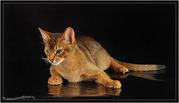 Вязка абиссинских кошек Питомник абиссинских кошек  #sunnybunny.by  #sb