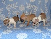 Чихуа хуа высокопородные щенки