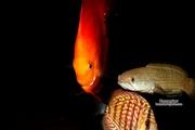 Аквариумные рыбки редкие виды.