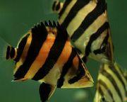 Окунь тигровый сиамский (лат. Datnioides microlepis)