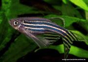 Данио рерио аквариумная рыбка