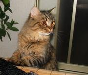 Британская длинношерстная кошка Питомник британских кошек  sunnybunny.by