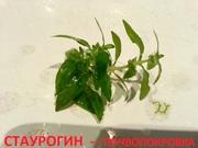 Стаурогин-почвопокровка. НАБОРЫ для запуска акваса. ПОЧТОЙ отправлю