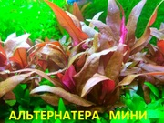 Альтернатера мини. НАБОРЫ растений для запуска акваса. Почтой отправлю