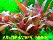 Альтернатера мини. НАБОРЫ растени для запуска акваса. Почтой отправлю