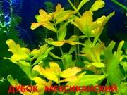 Дубок мексиканский. НАБОРЫ растени для запуска акваса. ПОЧТОЙ отправ