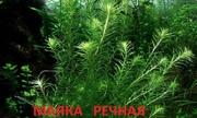 Маяка речная. НАБОРЫ растений для запуска. ПОЧТОЙ и МАРШРУ отправлю