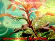 Прозерпинака палюстрис. НАБОРЫ растений для запуска. ПОЧТОЙ отправлю/