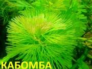 Кабомба водная. НАБОРЫ растений для запуска. ПОЧТОЙ и МАРШРУТКОЙ отпра