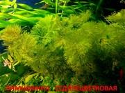 Лимнофила седячецветковая. НАБОРЫ растений для запуска. ПОЧТОЙ отправл