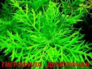 Синема деморфная. НАБОРЫ растений для запуска. ПОЧТОЙ отправлю