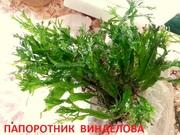 Папоротник винделова. НАБОРЫ растений для запуска. ПОЧТОЙ отправлю