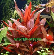 Альтернатера рейника. Наборы растений для запуска аквариума. Почтой и