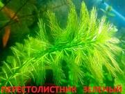 Перестолистник зеленый. Наборы растений для запуска и перезапуска аква