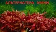 Альтернатера мини. Наборы растений для запуска и перезапуска