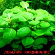 Лобелия кардиналис. Наборы растений для запуска и перезапуска =