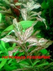 Гигрофила розенервиг. Наборы растений для запуска и перезапуска0