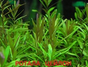 Ротала цейлон. Наборы растений для запуска и перезапуска аквариума .