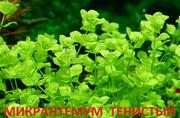 Микронтенум тенистый. Наборы растений для запуска аквариума . Почтой