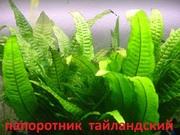 Папоротник тайландский. Наборы растений для запуска аквариума . Почтой
