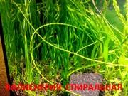 Валиснерия спиральная. Наборы растений для запуска аквариума . Почтой