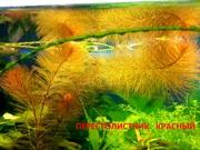 Перестолистник красный. Наборы растений для запуска аквариума . Почтой
