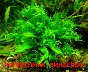 Папоротник винделов. НАБОРЫ растений для запуска аквариума. ПОЧТОЙ отп