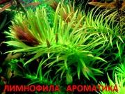 Гигрофила ароматика. Наборы растений для запуска аквариума . Почтой