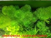 Лимнофила седячецветковая. НАБОРЫ растений для запуска аквариу. ПОЧТОЙ