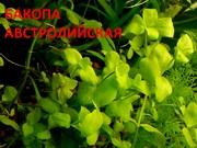 Аквариумные растения. Бакопа австролийская. Наборы для запуска. ПОЧТОЙ