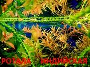 Аквариумные растения. Ротала. Наборы растений для запуска. ПОЧТОЙ отпр