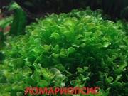 Аквариумные растения. Папоротник ломариопсис. Наборы для запуска. ПОЧТ