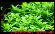 Стаурогин-почвопокровное. наборы растений для запуска. Почтой отправл1
