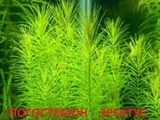 Погостемон эректус. наборы растений для запуска. Почтой отправлю1