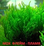 Мох флейм. НАБОРЫ растений для запуска акваса. ПОЧТОЙ отправлю1