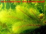 Красностебельный перестолистник и др. растения,  наборами для запуска=