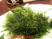 Мох БАБЛ. Наборы растений для Запуска и Перезапуска акваса.