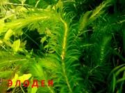 Элодея канадская -- даже в ЦИХЛИДНИК можно. Наборы растений для зап/