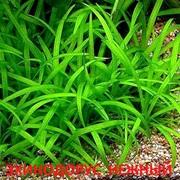 Эхинодорус нежный - аквариумные растения. Наборы растений для запуск-