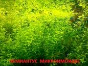 Жемчужная трава -- аквариумное растение и много других растений//