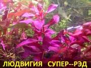 Людвигия супер-РЭД. НАБОРЫ растений для ЗАПУСКА и ПЕРЕЗАПУСКА акв/