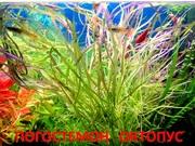 Погостемон октопус. НАБОРЫ растений для ЗАПУСКА и ПЕРЕЗАПУСКА акв/