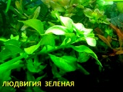 Людвигия зеленая. Наборы растений для ЗАПУСКА и ПЕРЕЗАПУСКА акв