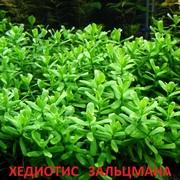 Аквариумные растения. Хедиотис зальцмана. Наборы для запуска. ПОЧТО=