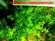 Хемиантус микроимоидес и др. аквариум-е растения,  наборами для запус=-
