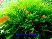 Мох крисмас -- аквариумные растения. Наборы растений для запуска акв-=